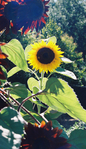 Sunflower, cropped