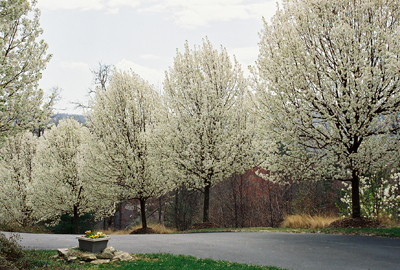 Bradford Pears