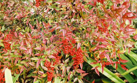 nandina