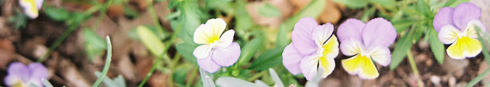 violas
