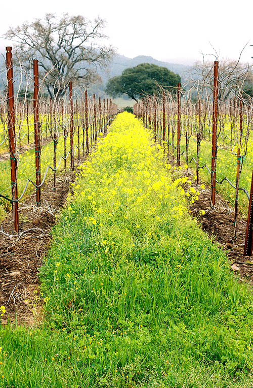 mustard-vineyard