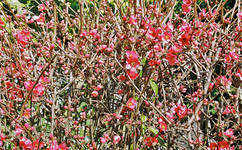 quince in blossom