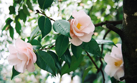 blush camelia