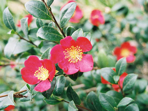 Christmas camelia
