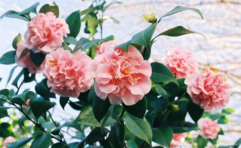 pink camelias