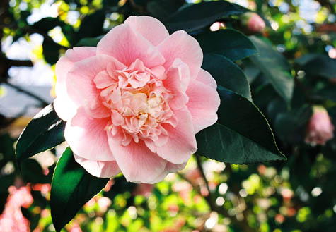 single pink camelia