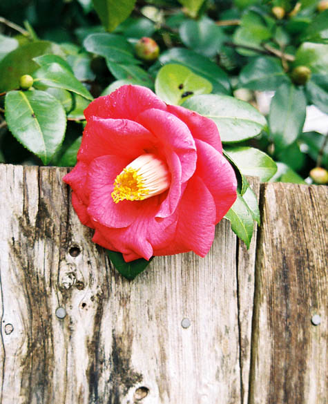 red camelia