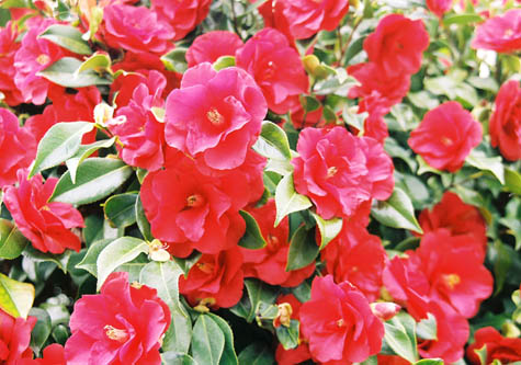 red camelias