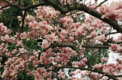 tulip tree