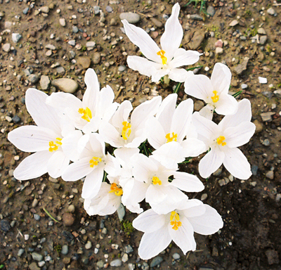 white crocus