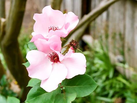 Pink rugosa