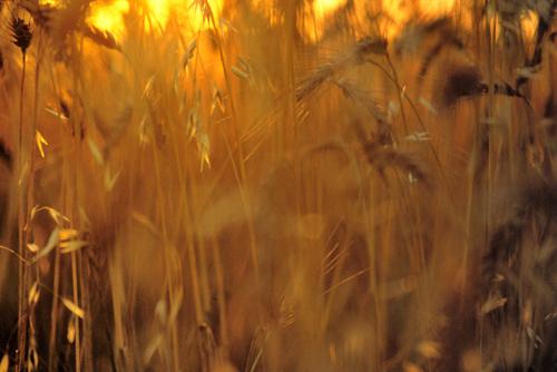 grain-in-sun