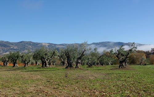 olive9