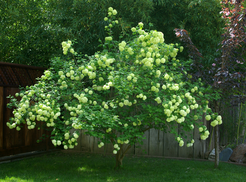 Snowballtree