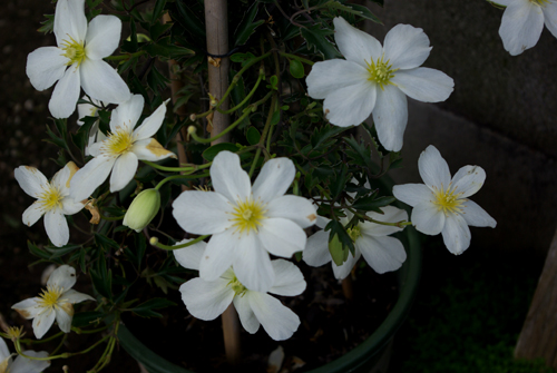 types of flowers white clematis flowers pictures