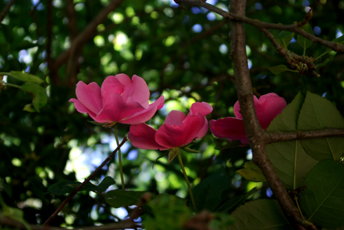 backroses