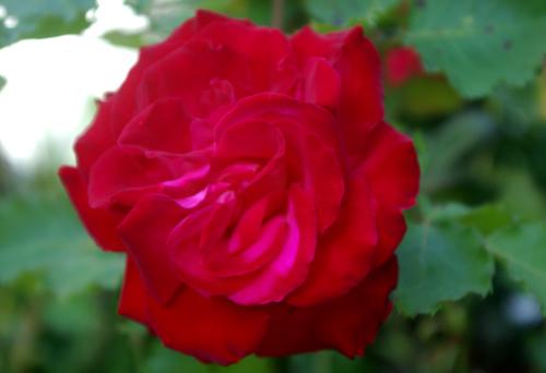 red-pkrose