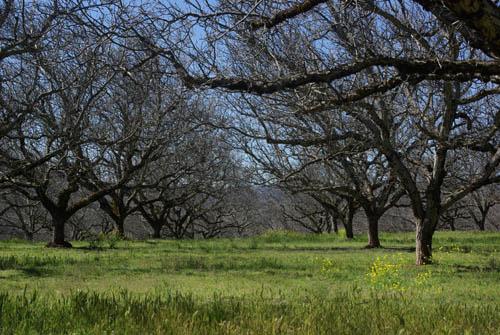 orchard500