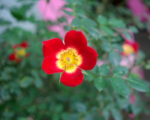 smallredrose