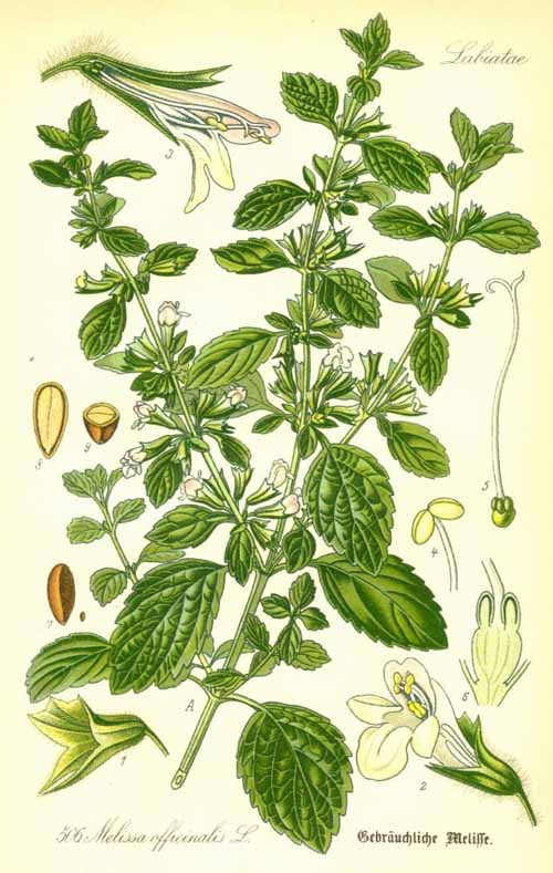 Melissa Officinalis Drawing Melissa Officinalis