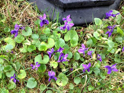 purpviolet