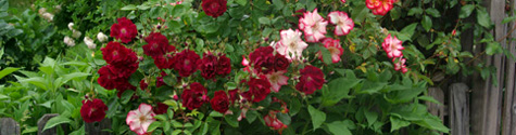 roses475