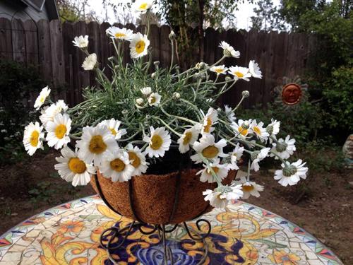 daisies500