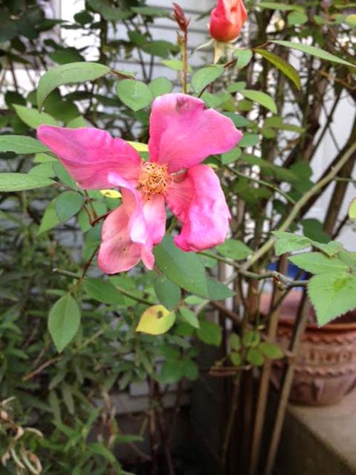 rose2-500