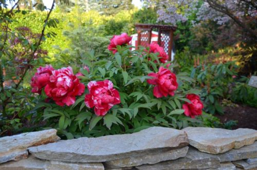Plant Whatever Brings You Joy » The Timeless Magic of Itoh Peonies